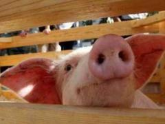 Чим страшний свинячий грип?